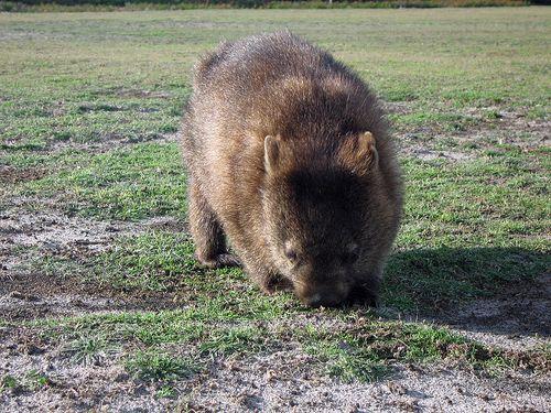 800px-Vombatus_ursinus_-Tasmania,_Australia_-front-8